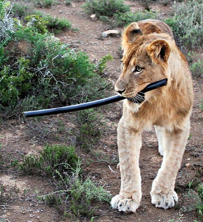 lion kwandwe